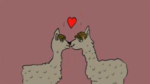 אלפקות מאוהבות